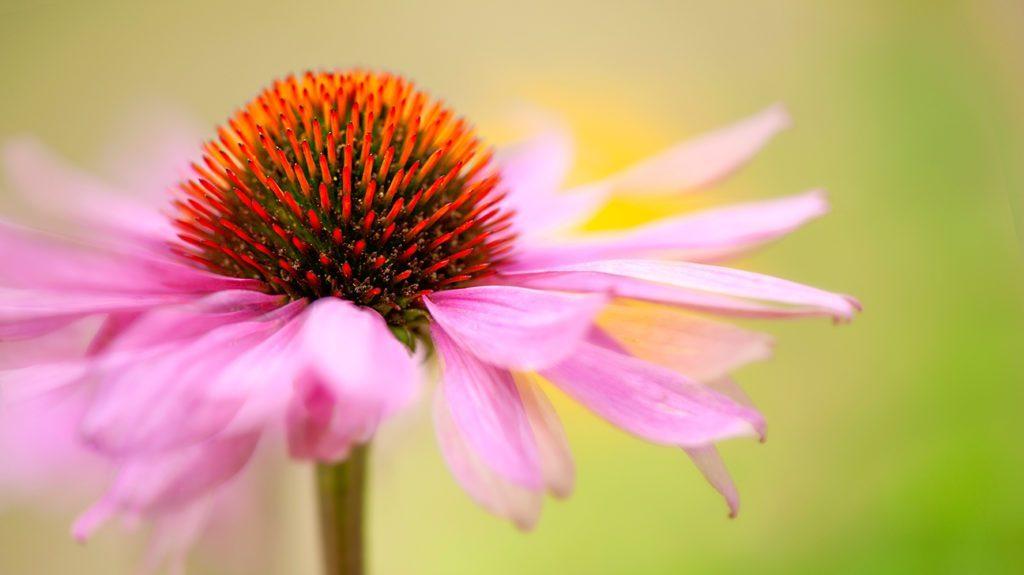 Echinacea (a.k.a. Purple Coneflower)